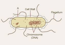 science  amp  technology in actionthe diagram shows a typical bacterial cell