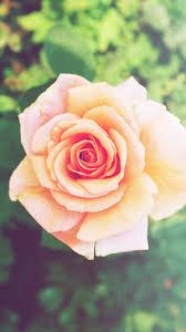pink rose flower iphone 6 plus hd wallpaper