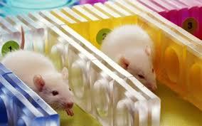 Resultado de imagem para estudos com ratos