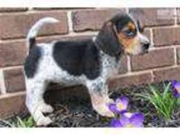 beagle dog for adoption in harrisburg pa usa