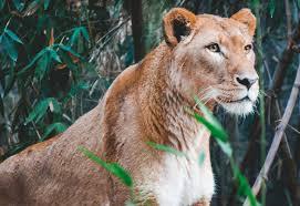lioness. Modren Lioness Lioness Near Bamboo Plant Throughout Lioness E