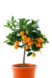Citrus Tree With Fruit  Small Orange Royalty Free Stock Photos Small Orange Fruit On Tree