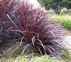Cordyline Design A Line Burgundy Create Foliage Impact In 3 Easy Steps Finegardening