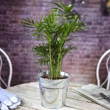office indoor plants. Chamaedorea-Elegans-House-Office-Live-Indoor-Plant-Gift- Office Indoor Plants T