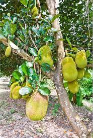 Jack Fruit Tree In Kerala  ELEGANT KERALA INDIA  Pinterest Kerala Fruit Trees