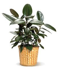 easy to grow houseplants rubber plant