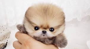white teacup puppies for sale. WELCOME TO TOY WHITE POMERANIANS PUPPIES Throughout White Teacup Puppies For Sale