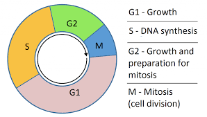 G1 And G2 What Happens In The Growth Phases Of The Cell Cycle