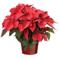 poinsettia gift plant