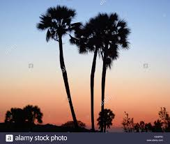 fan palm trees. after sunset; the fan palm trees of palmwag in damaraland, namibia - stock image