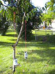 GARDENING Keep Squirrels Away With Moth Balls YUPHow To Protect Your Fruit Trees From Squirrels