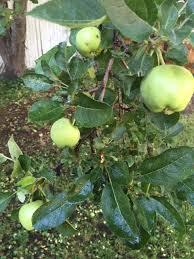 Identify My Apple Tree  Ask An ExpertGreen Fruit Tree Identification