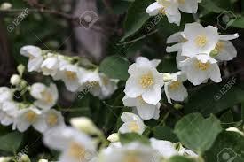 beautiful flowerses jasmine as part garden plants stock photo 22592808