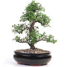 bonsai chinese elm bonsai tree bonsai tree