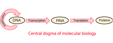 sample essay on central dogma of molecular biology  sample essay central dogma molecular biology