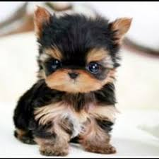 baby yorkshire terrier. Fine Baby Yorkies Are Super Cute Puppies Check Out Very Pictures Of Baby  Yorkshire Terriers Plus A Little History The Yorkie Breed Inside Baby Yorkshire Terrier