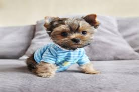 teacup puppy yorkie.  Puppy Cute Yorkie Teacup Puppy Throughout Teacup Puppy Yorkie U