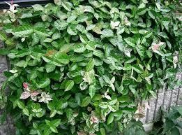 Plants how to prune asian jasmine