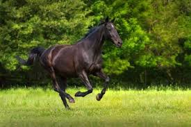 black horses running in a field. Fine Running Black Horse Run Gallop Against Trees In Green Field Stock Photo  60458134 Intended Horses Running In A Field R
