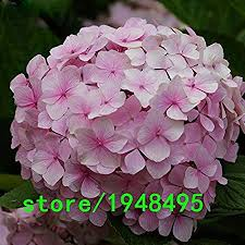Hot Sale Rare Pink Hydrangea Flower Seeds Bonsai ... - Amazon.com