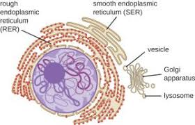 Endoplasmic Reticulum The Endoplasmic Reticulum Principles Of Biology Biology