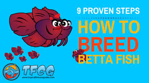 Betta Genetics Chart Breeding Betta Fish 9 Proven Steps To Breed Betta Fish The