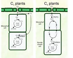 C4 Photosynthesis Discovered In Wheat Seeds Wheat Is A C3