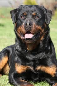 rottweiler dog mean. dangerous dogs: rottweiler dog mean t