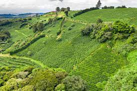 Starbucks, known for its trendy coffee shops around the world, has purchased an active farm on roughly 600 acres in costa rica, which it will convert to a global agronomy research and development. Savoring Costa Rica Sip By Sip The New York Times