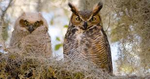 Great Horned Owl Identification All About Birds Cornell