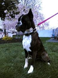 majestic s european and american boxers breeder in the usa