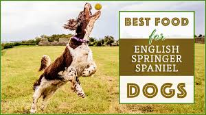 9 Best Healthiest Dog Food For English Springer Spaniels