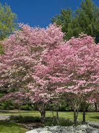 Image result for pictures of dogwoods in spring
