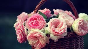 cute pink roses wallpaper