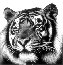 tiger face drawing pencil. Contemporary Face Tiger Face Artwork 19 By Jerry Winick Face Drawing Inside Drawing Pencil