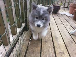 47 best samo mixed images on husky mix pets and a dog