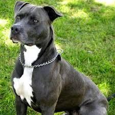 pitbull dog vs wolf.  Pitbull PIT BULL WOLF For Pitbull Dog Vs Wolf