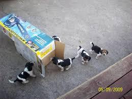 beagle puppies jacksonville fl