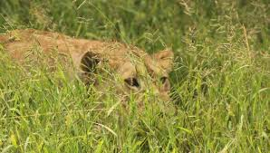 lioness stalking in grass. Plain Lioness Lioness Stalking In Grass  Photo5 On Stalking In Grass O