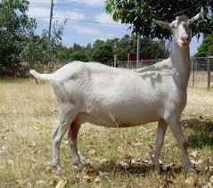 Dairy Goat Breeds Modern Farming Methods