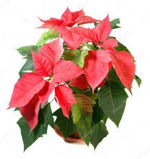 Schöne Rote Weihnachtsstern Pflanze Isoliert Auf Weiss