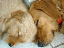 cute golden retriever puppies kissing. Modren Golden Dax A Golden Retriever Puppy For Cute Puppies Kissing P