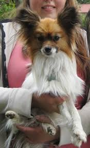 Papillon Growth Chart Papillon Dog Breed Information And Pictures