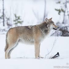 WolfWinter Instagram posts (photos and videos) - Picuki.com