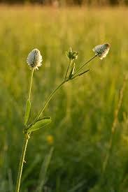 Trifolium montanum - Wikipedia