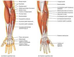 forearm size muscles of forearm anatomy human forearm anatomy 30 best forearm