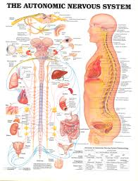 Anatomy Nervous System Sva Library Picture Periodicals