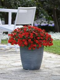 They are very easy plants to care for that offer prolific blooms throughout the summer, and they do best in hanging pots or their own containers with a trestle for vine support. Pin On Outdoor Living