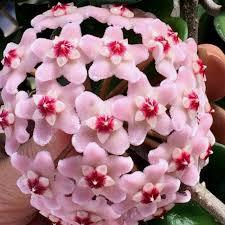 Algumas espécies crescem como plantas pendentes e há ainda outras que crescem como pequenos arbustos. Hoya Carnosa Krinkle 8 Flor De Cera Flores De Cera Vasos Suspensos Plantas