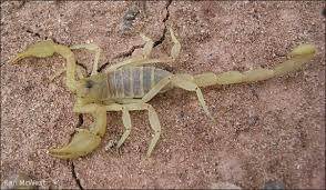 Chihuahuan Slendertailed Scorpion: Paruroctonus gracilior